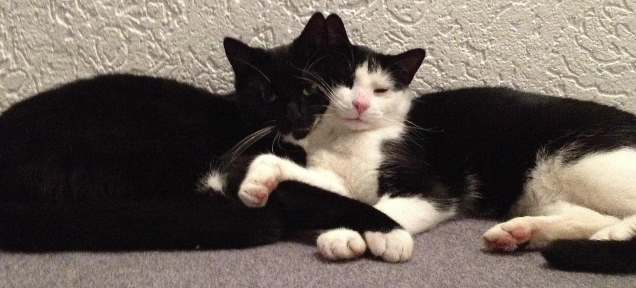 Hauskatzen Mogli und Baghira